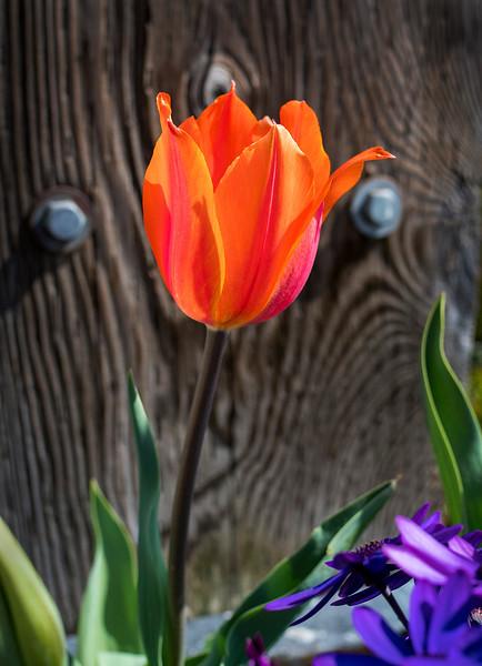 fish tulip.jpg