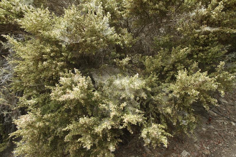 Coyote Bush, Baccharis pilularis