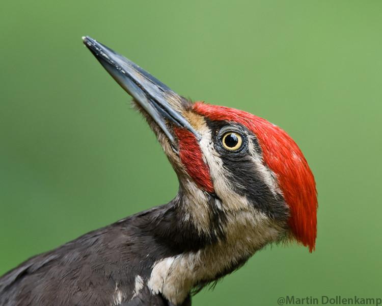 Pileated Woodpecker male closeup portrait.