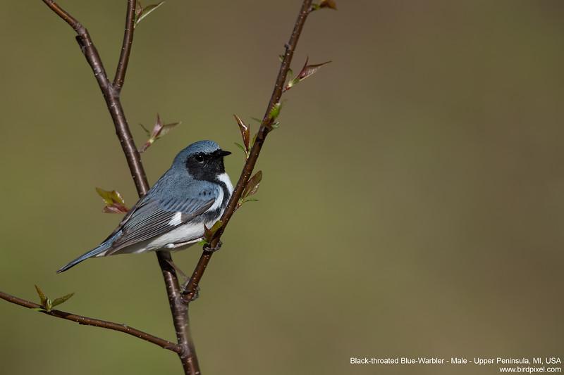 Black-throated Blue-Warbler - Male - Upper Peninsula, MI, USA
