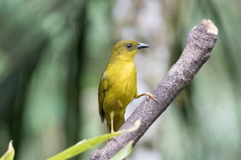19-Sept Brazil Birds-7340.JPG