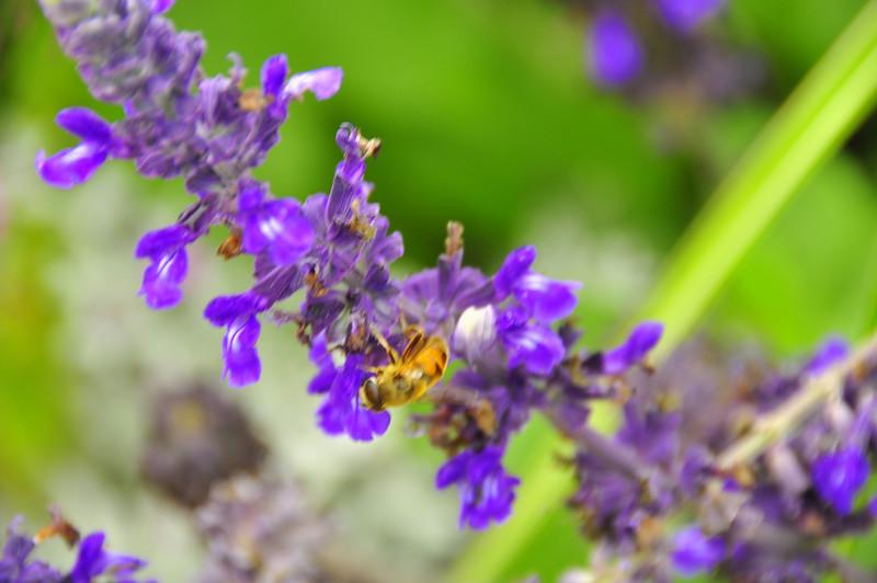 honeybee in gardens by Worthersee