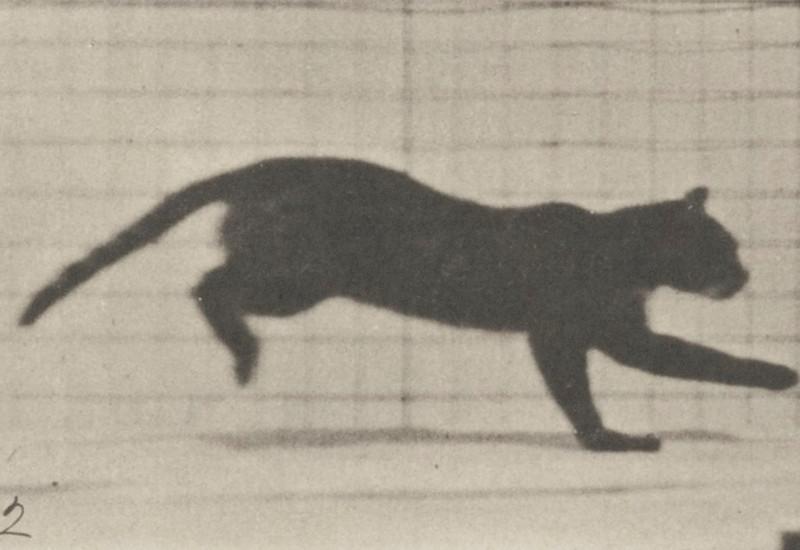 Cat galloping