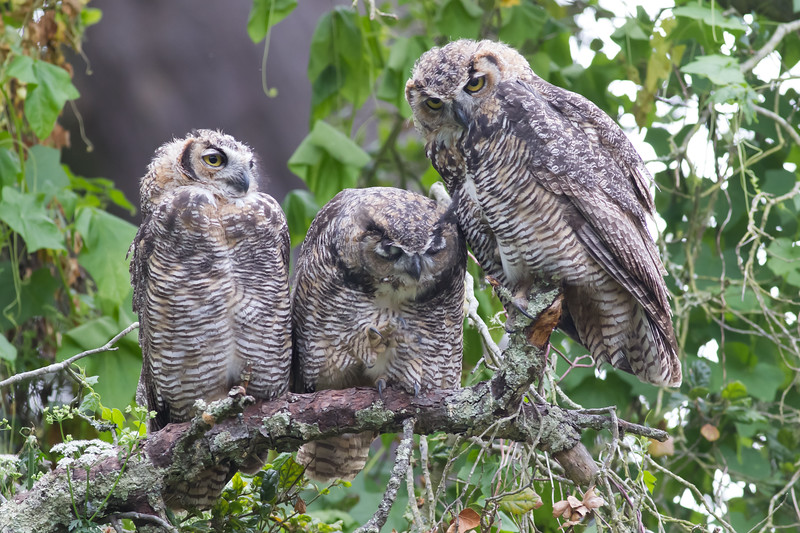 Great Horned Owls - Stow Lake, San Francisco, CA, USA