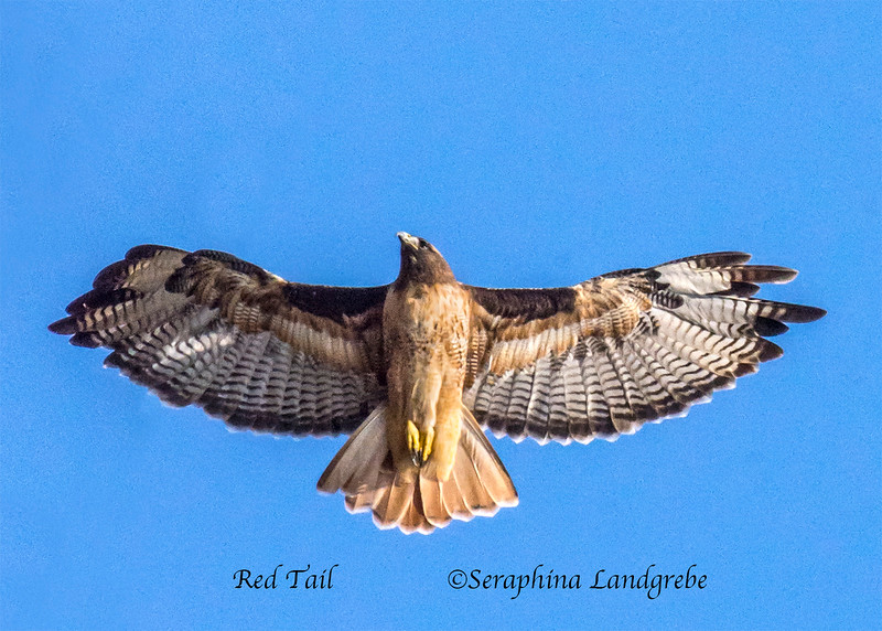 _DSC2393Red Tail hawk b.jpg