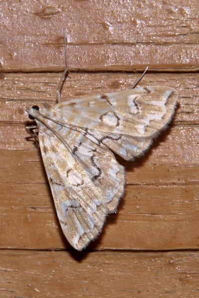 Pyralid - Pondside - (Elophila icciusalis) - Dunning Lake - Itasca County, MN