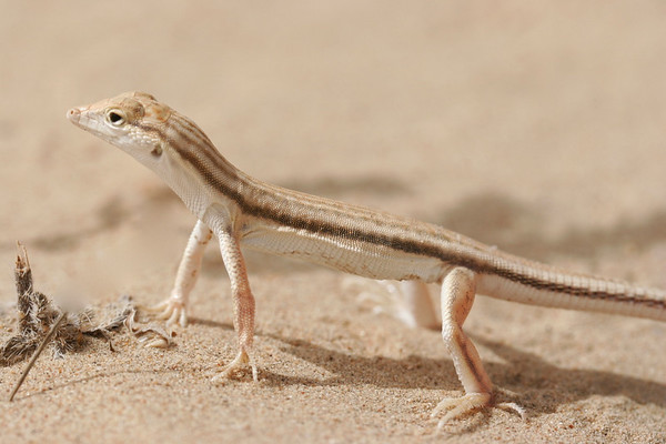 Fringe-toed Lizard