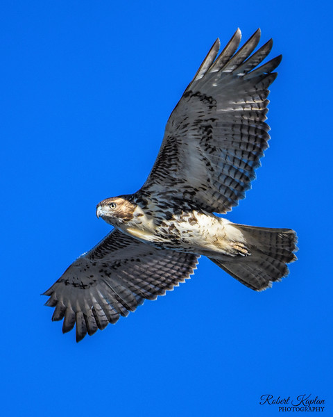 Red Tail Hawk-9981.jpg