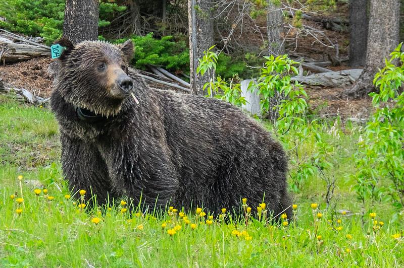 Grizzlie in Banff.jpg