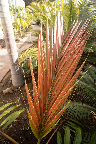 Christmas eve flushes of color and cycads 12/24/2016