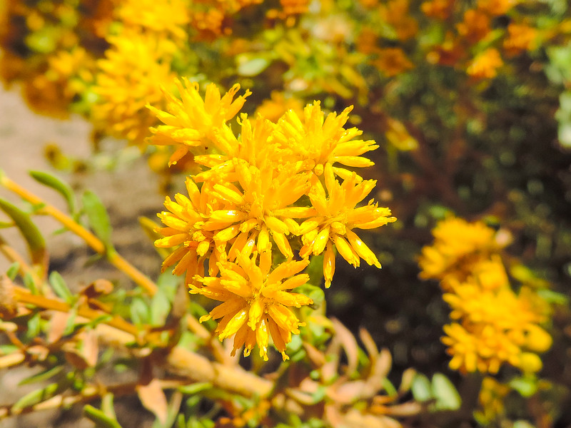 San Diego Goldenbush  (Isocoma menziesii) ASTERACEAE