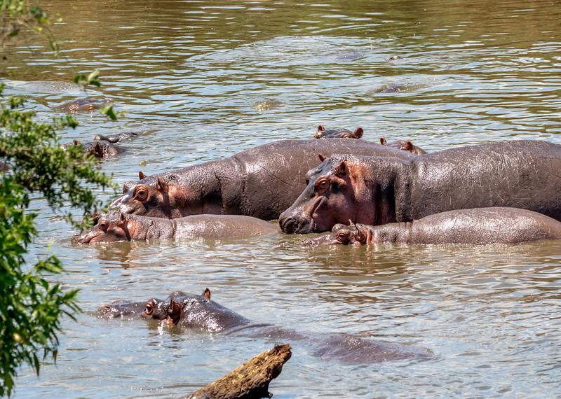 hippos-104_0219_4443.jpg