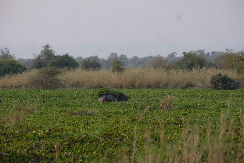 Hippo in Camouflage