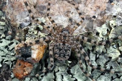 Selenopidae - Wall Crab Spiders