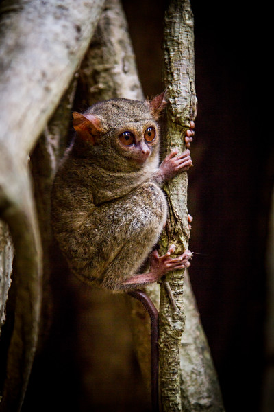 spectral tarsier (Tarsius tarsier), Tangkoko, Sulawesi. Returning to sleep in a fig tree after a night hunting,