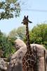 Maren's favs , the Giraffes