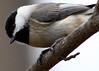 Chickadee 5x7 IMG_0469