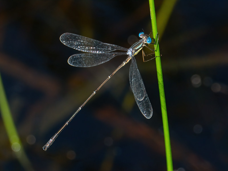 Slender Spreawing (Lestes rectangularis), male