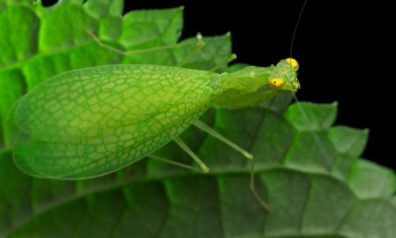 Leaf veined mantis (Tropidomantis sp.)