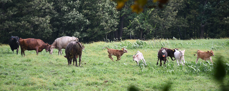 Frolicking cows and their calves