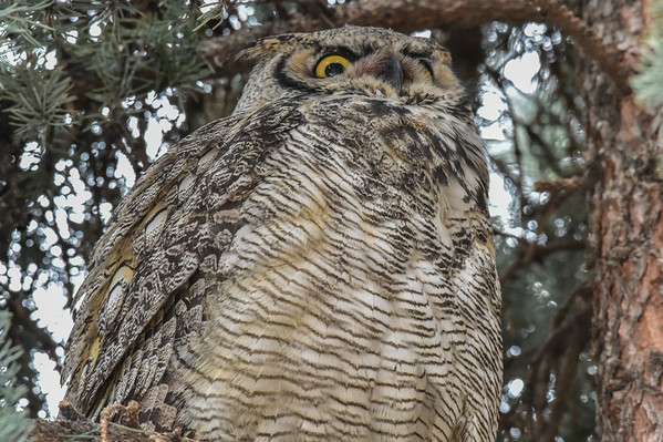 3-14-14 *^Great Horned Owl Adult