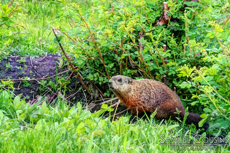 A groundhog on the Eastern Prom near the Portland Company complex.