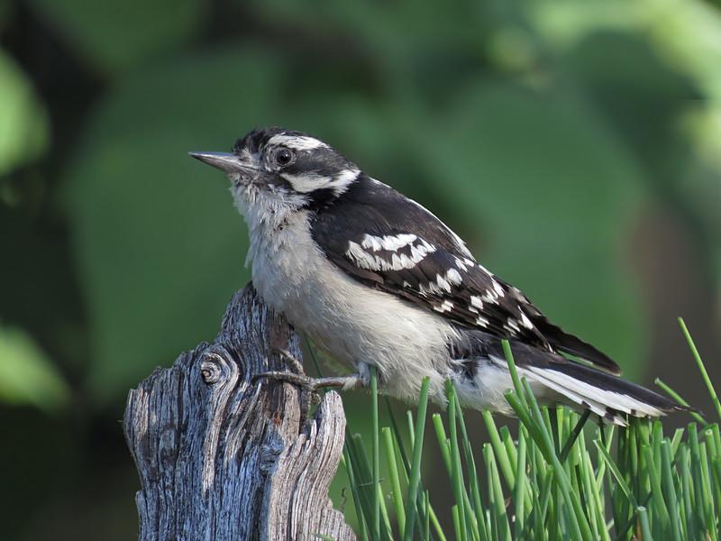 sx50_woodpecker_downy_boas_007.jpg