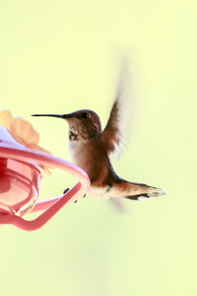 humming bird (1 of 55).jpg