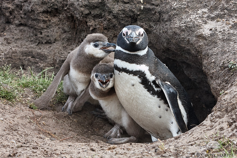 Magellanic Penguin and chicks at burrow