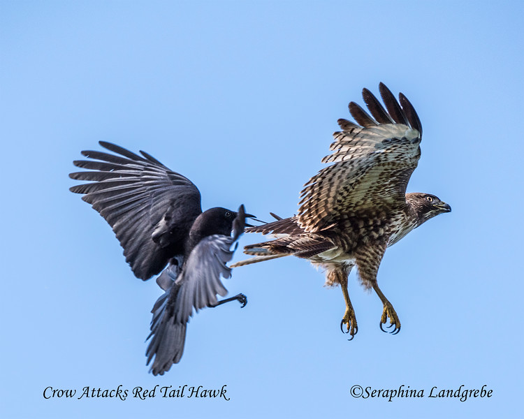 _DSC1173Crow Attacks Red Tail Hawk.jpg