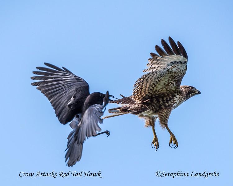 _DSC1173Crow Attacks Red Tail Hawk.jpg