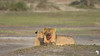 Content Lions