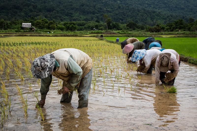 Rice Farming in Laos
