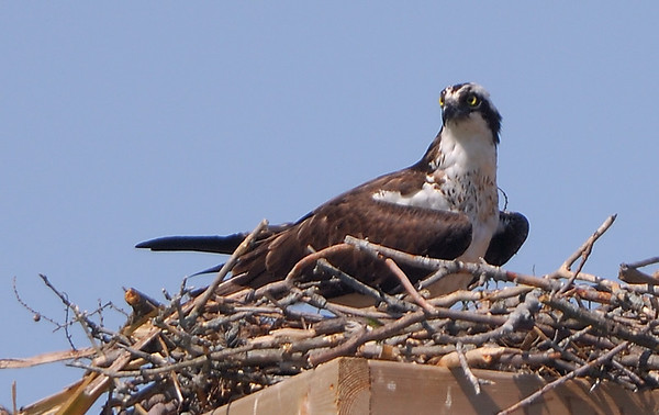Coburg and Oshawa birds: Osprey; Kingbird;
