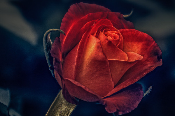 October 20 - Red Rose.jpg