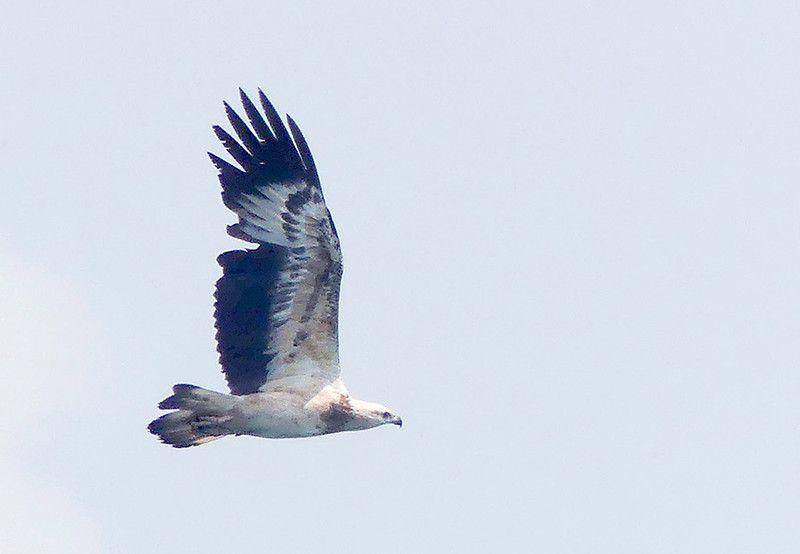 Sea Eagle-Mirissa20160123_044 copy.jpg