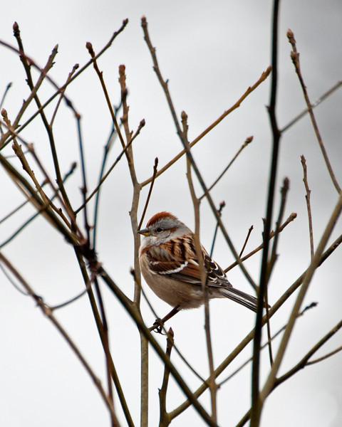 American Tree Sparrow C1185