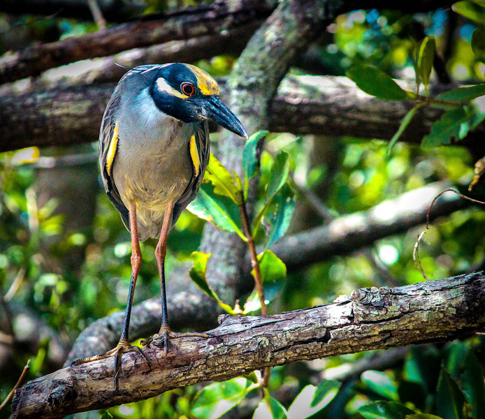 9_15_19 Yellow-Crown Night Heron.jpg