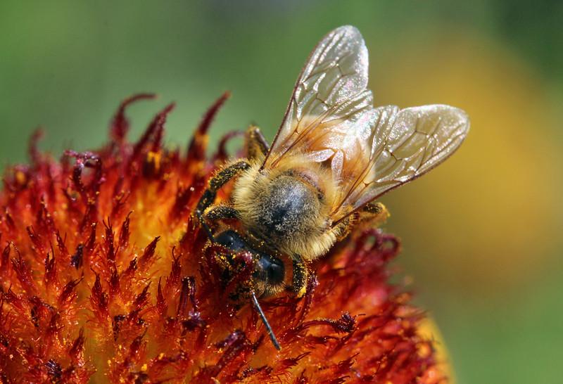 Honey bee 14