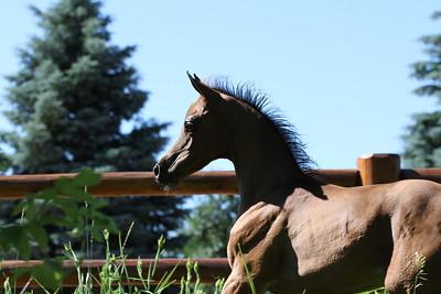 Bay Foal