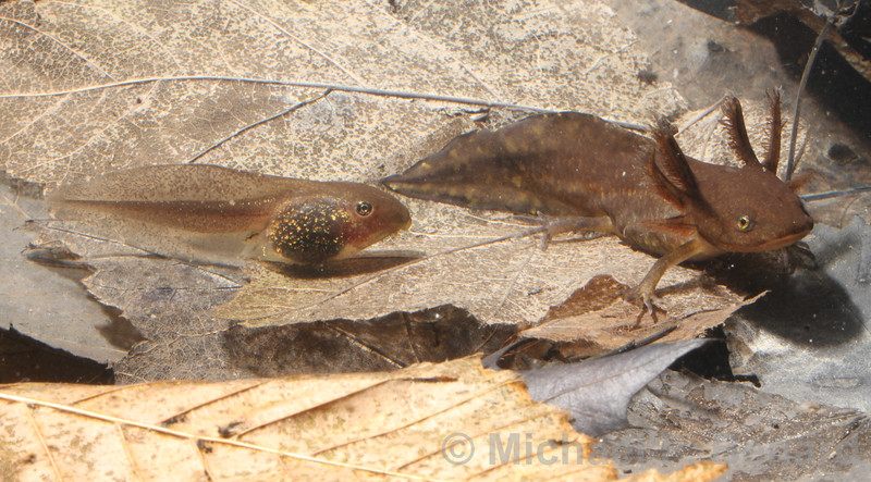 Ambystoma Salamander Larva with Wood Frog Tadpole