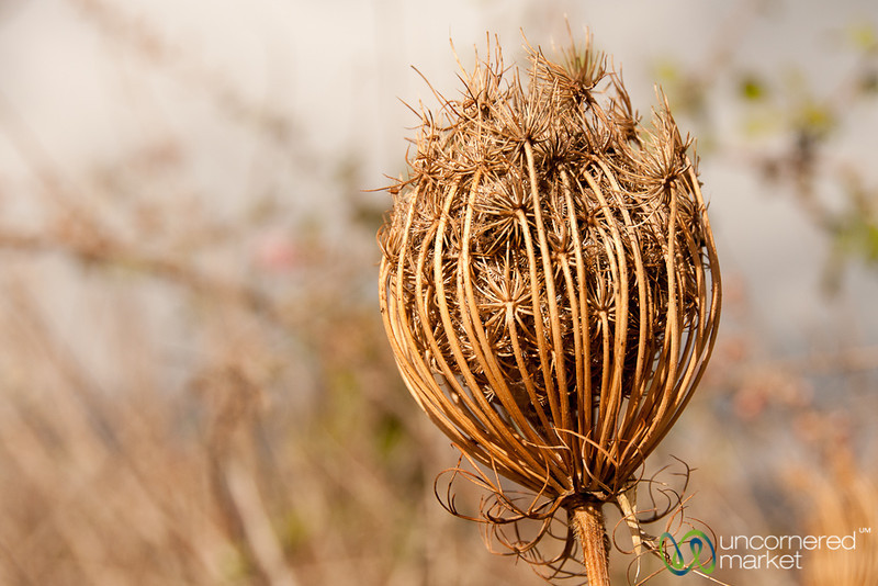 Dried Flower - Crete, Greece