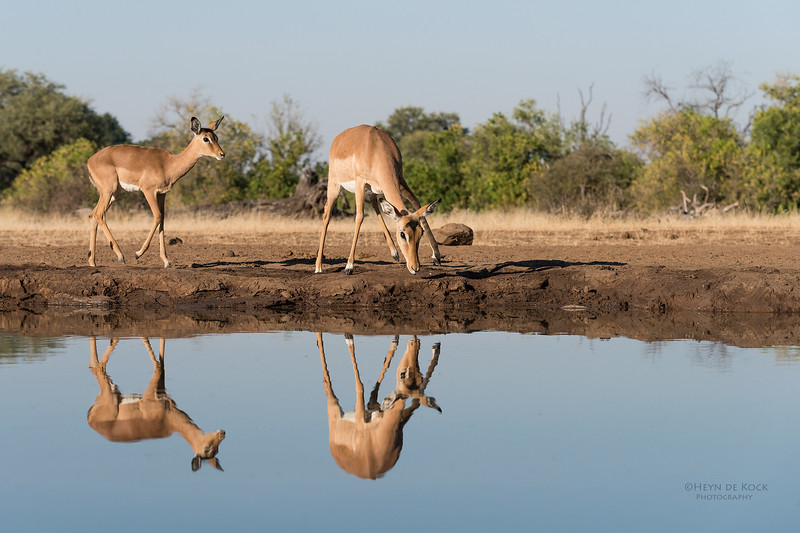 Impala, Mashatu GR, Botswana, May 2017-6.jpg