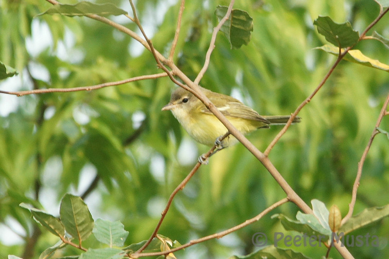 Better view of a Bell's Vireo today.  Very-warbler like in their skulking movements through the brush. Still hoping for a better shot.