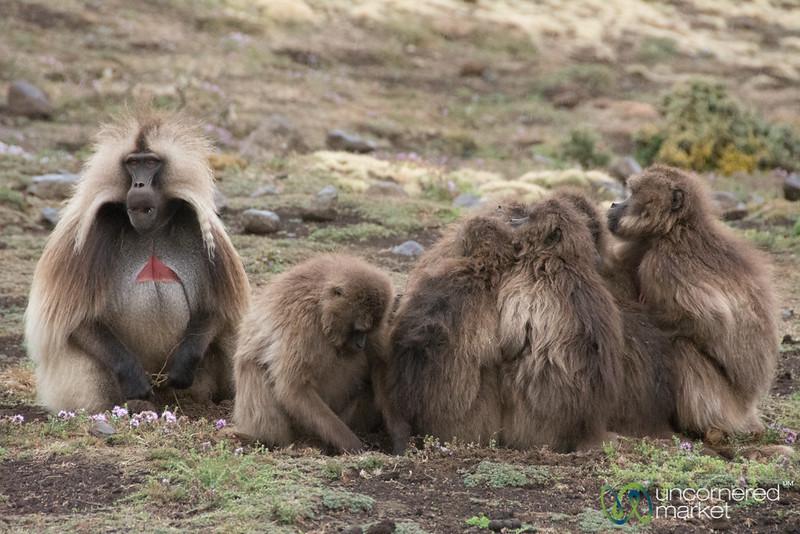Gelada Baboon Family in the Simien Mountains - Simien Mountains, Ethiopia