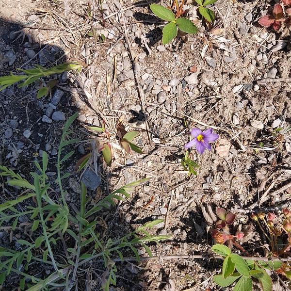 Blue-eyed Grass (Sisyrhinchium sp) along roadside near site entrance , in Area 1 (Photo by Gerry McKenna)
