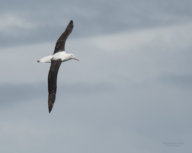 Northern Royal Albatross, Eaglehawk Neck Pelagic, TAS, Sept 2016-4.jpg