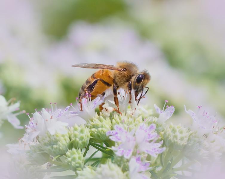 Honeybee in the White Fields