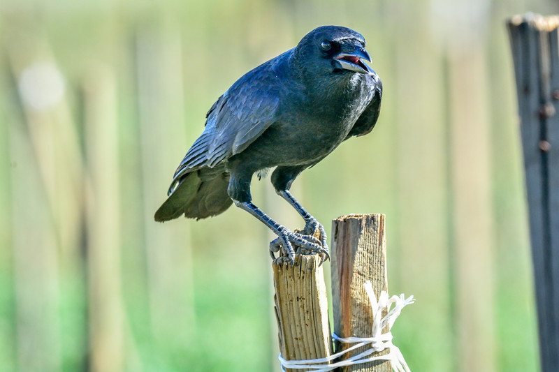 -_American Crow 2014-10-12 Harvey Bear Ranch-11.jpg