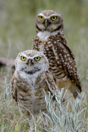 6-20-18 Burrowing Owls - Adults